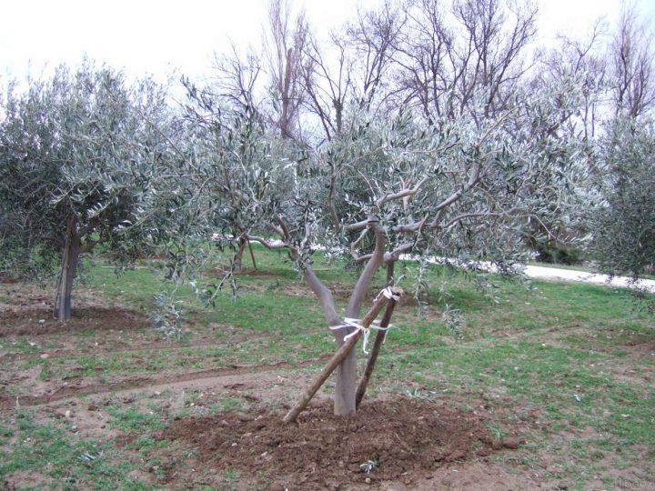 imagestailler-un-olivier-12.jpg